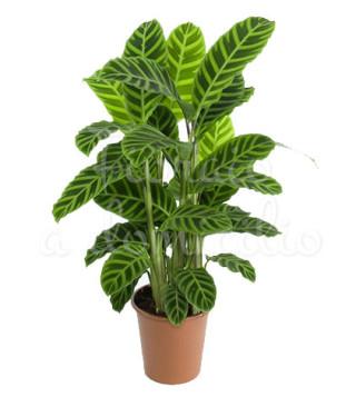pianta-di-calathea-zabrina