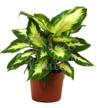 pianta-di-dieffenbachia