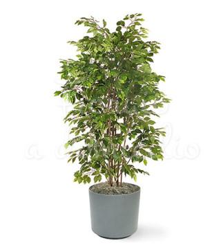 pianta-di-ficusbush