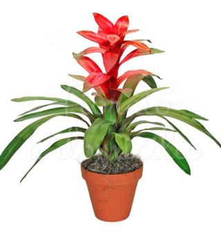 pianta-di-guzmania
