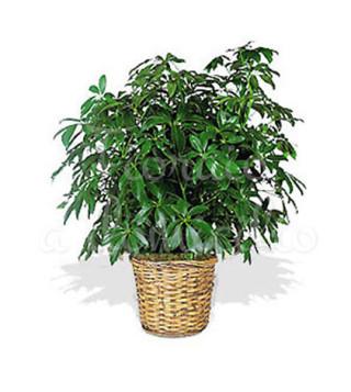 pianta-di-schefflera