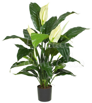 pianta-di-spathiphyllum