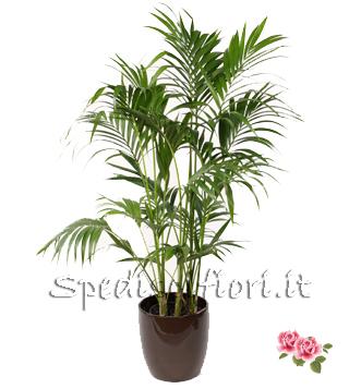 Pianta di kentia fioraio a domicilio for Kentia pianta