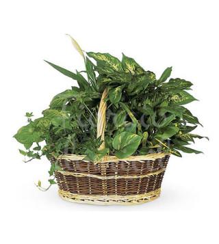 cesto-misto-di-piante-verdi