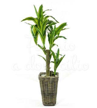 pianta-di-dracena